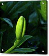 Lilly Bud Acrylic Print