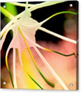 Lilly Flower Pastel Acrylic Print
