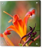 Lilly Flowers Acrylic Print