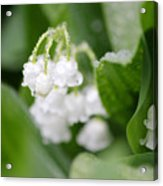 Lilly Of The Valley Acrylic Print