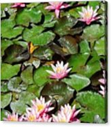 Lilly Pads In Bloom Acrylic Print