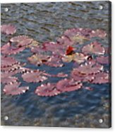 Lilly Pads Acrylic Print