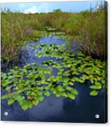 Lillypads In The Everglades Acrylic Print