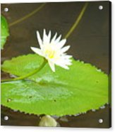 Lily-1 Acrylic Print