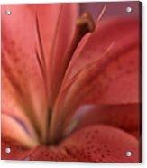 Lily 13 Acrylic Print