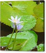 Lily-2 Acrylic Print