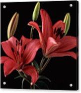 Lily 9 Acrylic Print