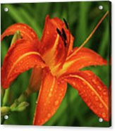 Lily After The Rain Acrylic Print