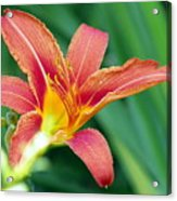 Lily And Glowing Light Acrylic Print