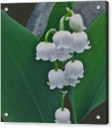 Lily Bells Acrylic Print