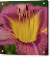 Lily Bloom Close Up Acrylic Print