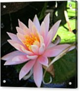Lily Bloomed Acrylic Print