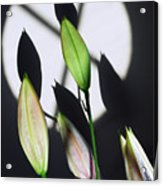 Lily Buds In The Spotlight. Acrylic Print