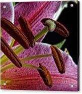 Lily Close Up Acrylic Print