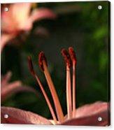 Lily Closeup Acrylic Print