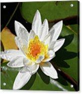 Lily Floating On Pond IIi Acrylic Print