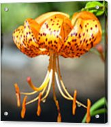 Lily Flowers Art Orange Tiger Lilies Giclee Baslee Troutman Acrylic Print