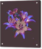 Lily Flowers Blue Maroon Acrylic Print