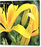 Lily - Id 16217-152018-5631 Acrylic Print