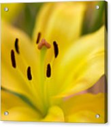 Lily In Close-up Acrylic Print