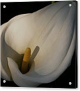 Lily In Shadow Acrylic Print