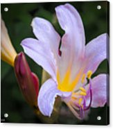 Lily In The Rain By Flower Photographer David Perry Lawrence Acrylic Print