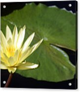 Lily Nilly Acrylic Print