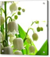 Lily Of The Valley II Acrylic Print