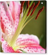 Lily One Acrylic Print