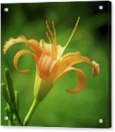 Lily Picture - Daylily Acrylic Print