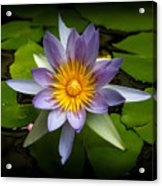 Lily Queen Of The Pond  Acrylic Print