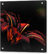 Lily Red-black  Acrylic Print