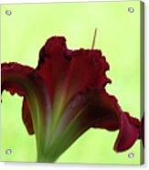 Lily Red On Green Acrylic Print