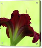 Lily Red On Yellow Green - Daylily Acrylic Print