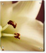 Lily Series 1 Acrylic Print