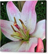 Lily Singled Out Acrylic Print