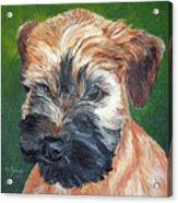 Lily, Soft Coated Wheaten Puppy Acrylic Print