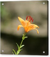 Lily Stands Alone Acrylic Print