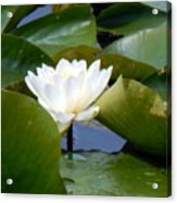 Lily Tries To Be Seen Acrylic Print