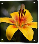 Lily Was Here Acrylic Print