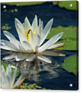 Lily With Bee Acrylic Print
