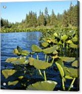 Lilypads On Amber Lake Acrylic Print