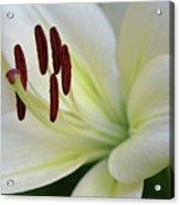 Lilywhite Acrylic Print