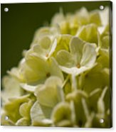 Lime Hydrangea Acrylic Print