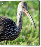 Limpkin Checking For Snails. Acrylic Print