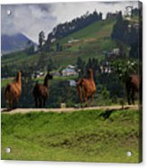 Line-dancing Llamas At Ingapirca Acrylic Print