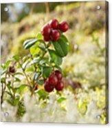 Lingonberries 1 Acrylic Print