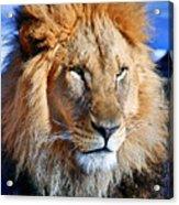 Lion 09 Acrylic Print