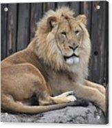 Lion 2 Acrylic Print