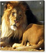 Lion 2 Washington D.c. National Zoo Acrylic Print